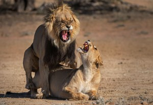 mating-lions-01-1400-300k-72d-srgb-w